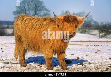 Scottish Highland Cattle (Bos primigenius f. taurus), in winter at snow, Germany - Stock Photo