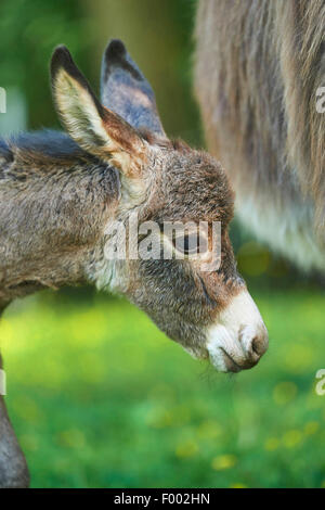 Domestic donkey (Equus asinus asinus), portrait of an 8 hour old juvenile, Germany - Stock Photo