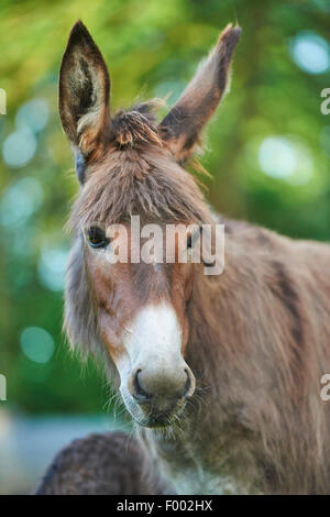Domestic donkey (Equus asinus asinus), portrait of a mare, Germany - Stock Photo