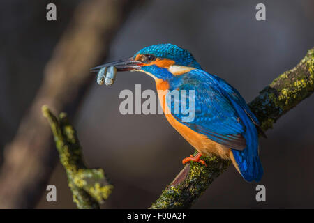 river kingfisher (Alcedo atthis), male with two simultaneously caught bleaks in the bill, Germany, Bavaria - Stockfoto