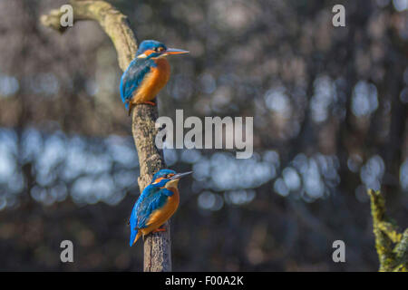 river kingfisher (Alcedo atthis), male and female on their outlook, Germany, Bavaria - Stockfoto