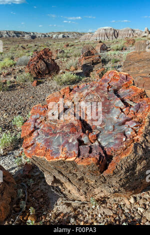 Petrified Tree Cross Section - Petrified Forest National Park, AZ - Stock Photo