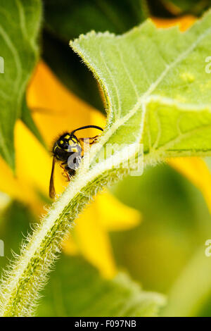 Face-to-face with a wasp on a sunflower leaf. - Stock Photo