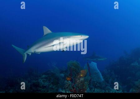 Pair of Caribbean reef sharks (Carcharhinus perezii) swimming along the reef, Jardines De La Reina, Cuba. - Stock Photo