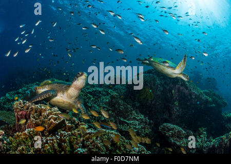 School of green chromis swimming over a couple of green turtles resting on a hard coral reef, Cebu, Philippines. - Stock Photo