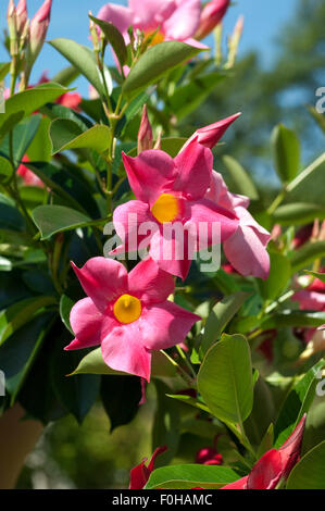 dipladenia rio hot pink mandevilla hybride stock photo royalty free image 86433437 alamy. Black Bedroom Furniture Sets. Home Design Ideas