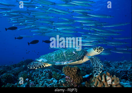 HAWKBILL SEA TURTLE SWIMMING ON THE REEF WITH SCHOOL OF FISH - Stock Photo