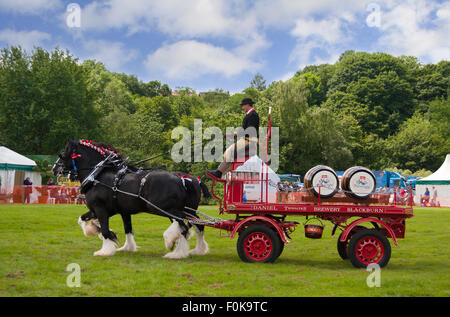 Thwaites horse-drawn beer dray on show at the Bury Agricultural Show in Lancashire, England, UK. - Stock Photo