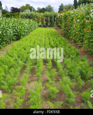 Rows of carrots growing alongside runner bean 'Tenderstar' with their white and orange flowers, photographed in - Stock Photo