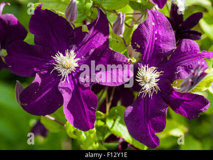 clematis cardinal rouge stock photo royalty free image. Black Bedroom Furniture Sets. Home Design Ideas