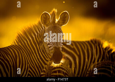 Crawshay's zebra (Equus quagga crawshayi) in evening light, South Luangwa National Park, Zambia. March. - Stock Photo