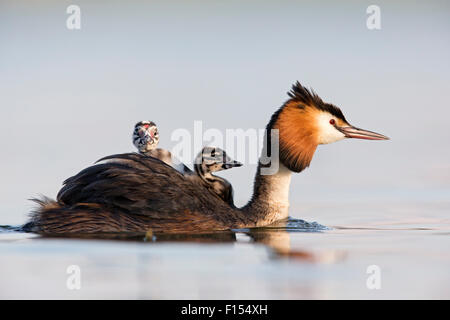 Great crested grebe (Podiceps cristatus) close-up of an adult with two young chicks. The Netherlands. June 2014 - Stock Photo