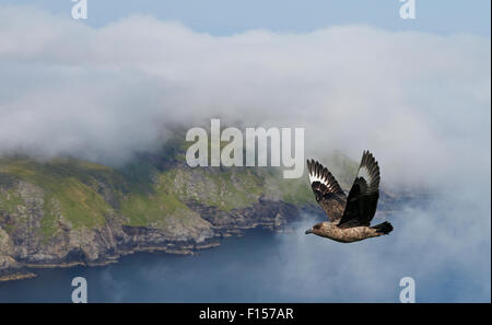 Great Skua (Catharacta skua)  in flight over coast of Shetland, Scotland, UK, July - Stock Photo