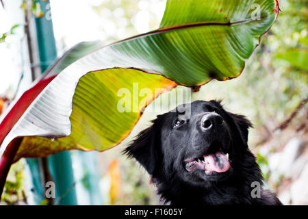 Happy smiling black Labrador Retriever dog looking up from bottom of horizontal frame under a giant green tropical - Stock Photo