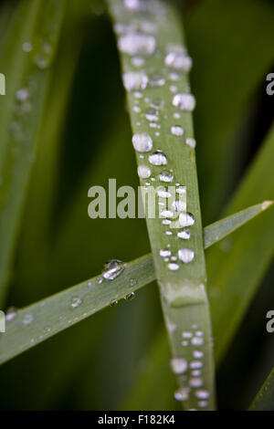 Macro photograph of water droplets sitting along a green blade of grass - Stock Photo