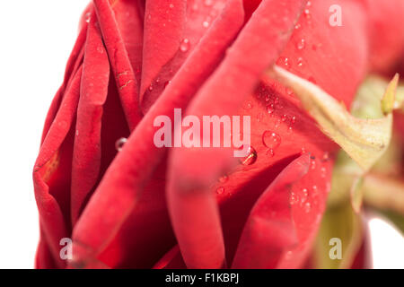 Rose petals in water droplets - Stock Photo