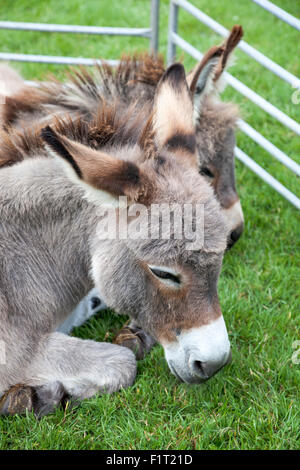 Donkeys in an enclosure - Stock Photo