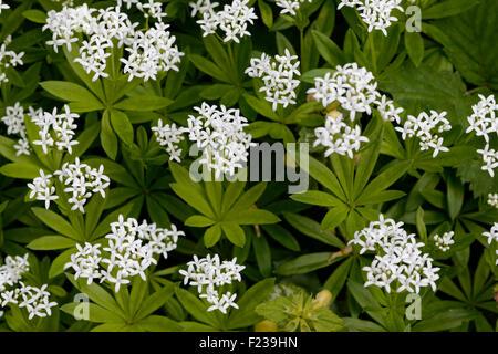 flowering woodruff galium odoratum stock photo royalty. Black Bedroom Furniture Sets. Home Design Ideas