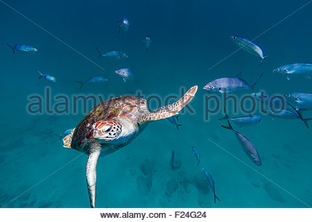 A hawksbill sea turtle swims toward the camera with a school of fish in Barbados - Stock Photo