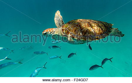 Close up of a hawksbill sea turtle swimming in front of the camera with a small school of fish. Barbados, Caribbean - Stock Photo