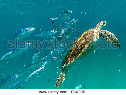A hawksbill sea turtle swims to the surface of the Caribbean Sea followed by a school of fish. Barbados. - Stock Photo