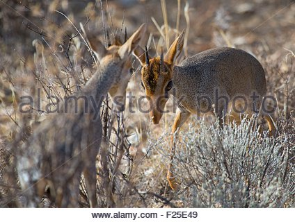 Kenya, Samburu County, Samburu National Reserve, kirk's dik-dik - Stock Photo