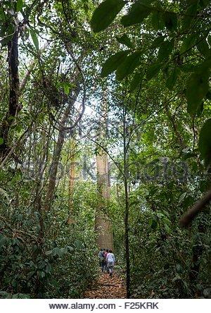Panama, Darien Province, Filo Del Tallo, Tourists Passing In Front Of A Cuipo Giant Tree In Filo Del Tallo - Stock Photo