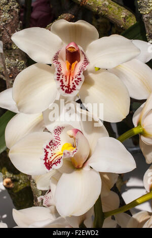 white orchid orchids flowers plant plants - Stock Photo