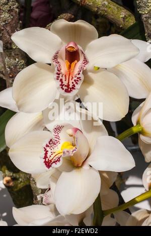 white orchid orchids flowers plant plants - Stock Photo