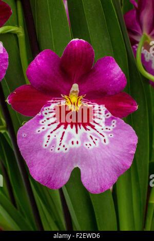 purple orchid orchids flowers plant plants - Stock Photo