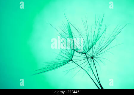 close up of dandelion on green background. - Stock Photo