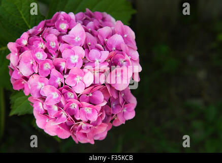 Beautiful pink hydrangea on abstract green background - Stock Photo