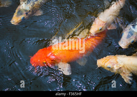 Orange white and multi colored koi carp fish swimming in for Green koi fish