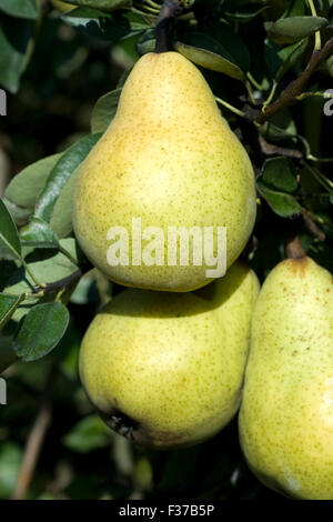 pyrus communis williams christ birnen pears stock photo royalty free image 62785696 alamy. Black Bedroom Furniture Sets. Home Design Ideas