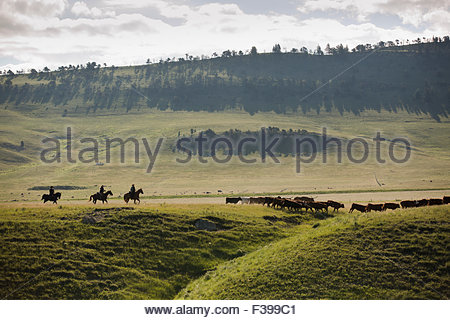 Female ranchers herding cattle over hills in distance - Stockfoto