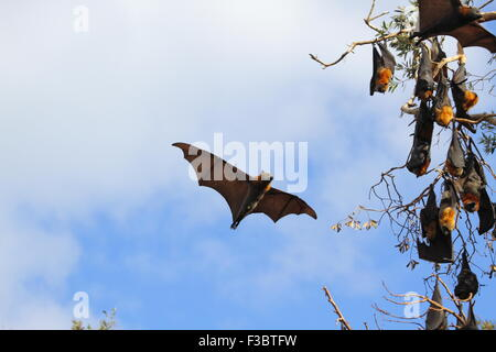 The grey-headed flying fox (Pteropus poliocephalus) is a megabat native to Australia and is the largest bat in Australia. - Stock Photo