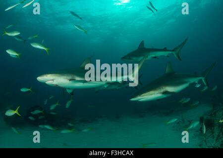 Underwater view of reef sharks swimming above seabed, Tiger Beach, Bahamas - Stock Photo