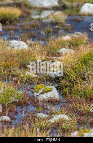 Moss covered exposed rock in marshland on the summit of Aonach Mor in the Scottish Highlands. - Stockfoto