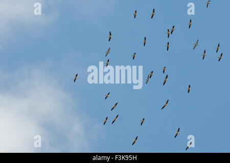 Large mixed flock of flying White and Dalmatian Pelicans - Stockfoto
