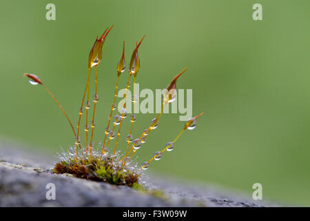 Wall Screw-moss (Tortula muralis) growing on a concrete wall, with raindrops. Powys, Wales. April. - Stock Photo
