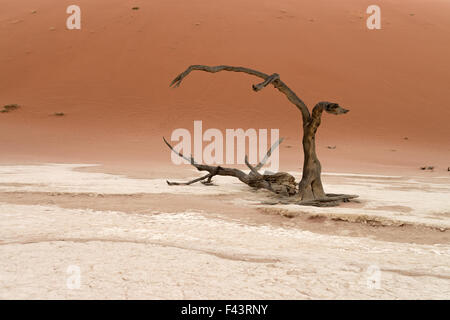 Dead trees in front of a sand dune at sunrise before the sun hits the pan in Deadvlei, Namib-Naukluft National Park, - Stock Photo