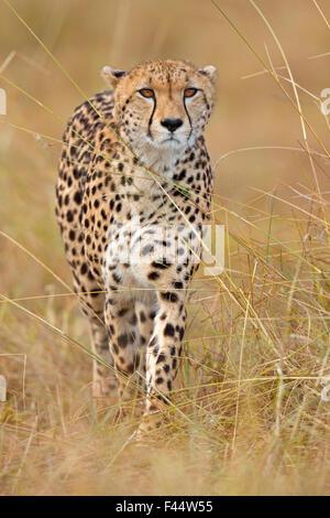 Cheetah (Acinonyx jubatus) female hunting, Maasai Mara, Kenya, Africa - Stockfoto