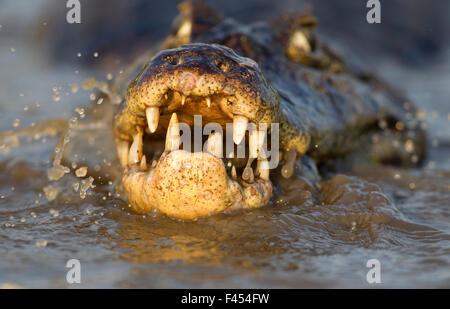Spectacled caiman (Caiman crocodilus) feeding on fish, Pantanal, Brazil. - Stock Photo