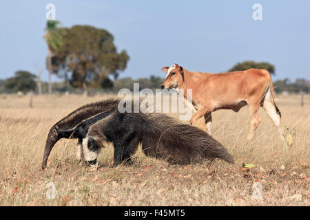 Giant Anteater (Myrmecophaga tridactyla) walking in front of  domestic cattle, Pantanal, Brazil - Stock Photo