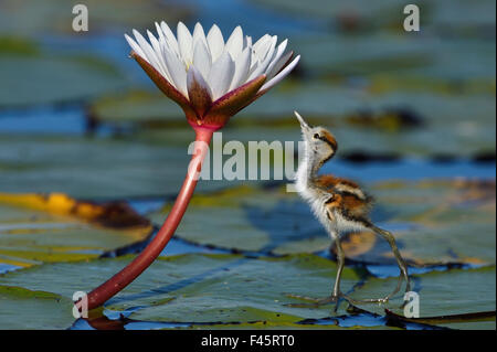 Juvenile African jacana (Actophilornis africana) looking at insect on flower, Chobe River, Botswana, April. - Stock Photo