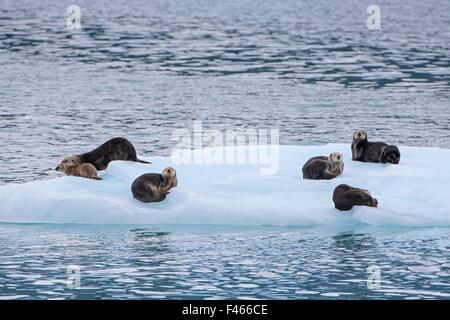 Sea Otters (Enhydra lutris) one with pup, on ice floe, Prince William Sound, Alaska, USA. June. - Stockfoto