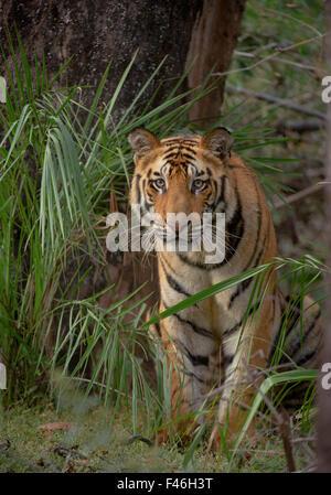 Bengal Tiger (Panthera tigris) sub-adult, approximately 17-19 months old, amongst forest vegetation. Endangered. - Stock Photo