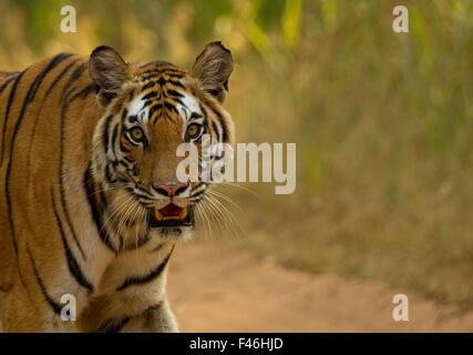 Tiger (Panthera Tigris Tigris) Frauenporträt. Gefährdet. Bandhavgarh, Indien, November. - Stockfoto