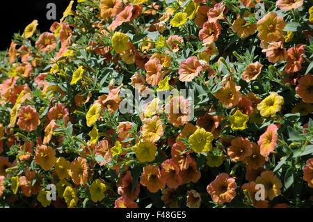 petunia cultivars cascadias indian summer stock photo royalty free image 88698991 alamy. Black Bedroom Furniture Sets. Home Design Ideas