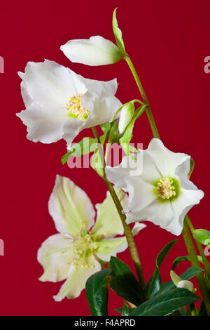 christrose helleborus niger stock photo royalty free image 85853395 alamy. Black Bedroom Furniture Sets. Home Design Ideas